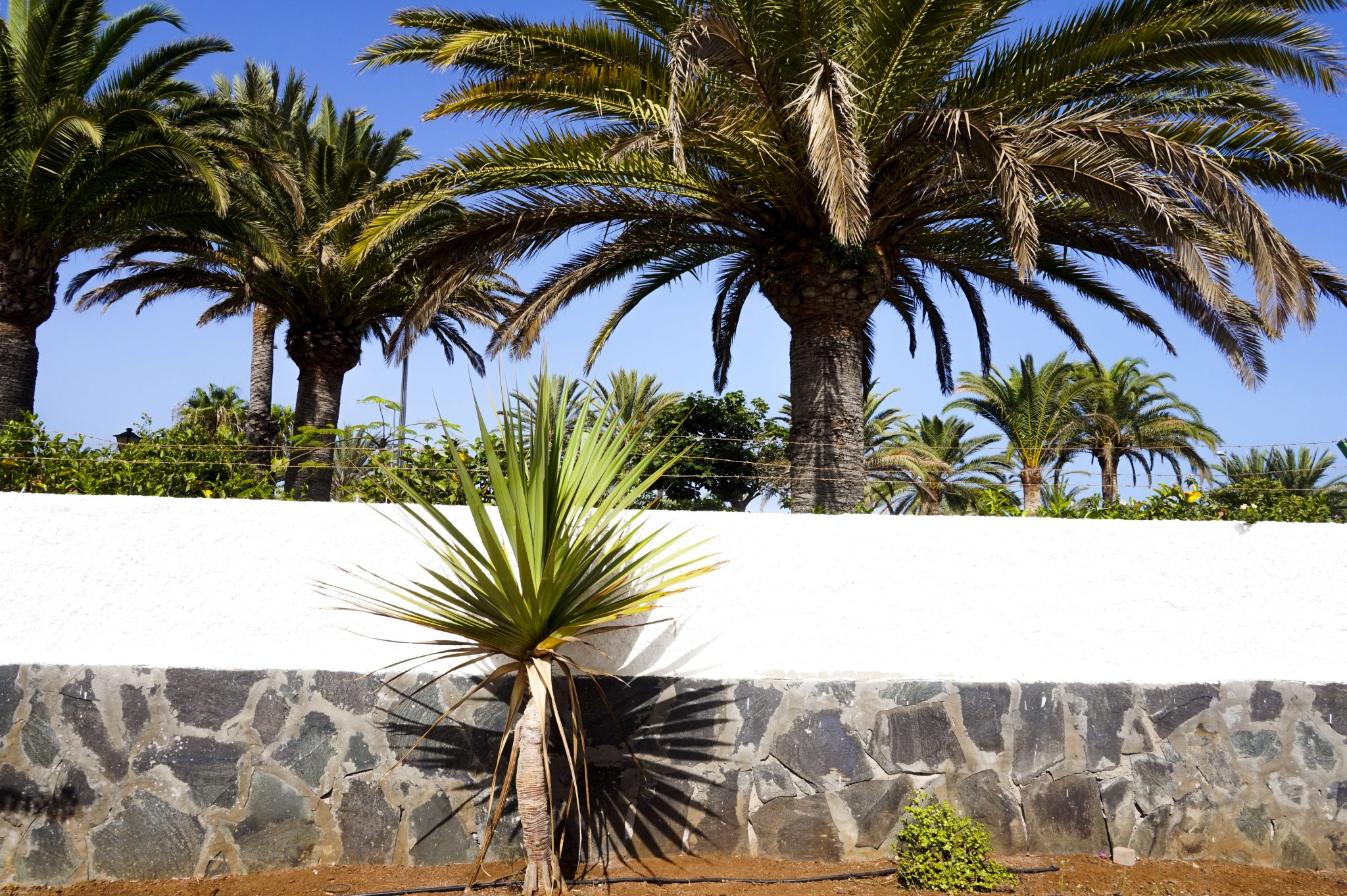 palm trees in gran canaria